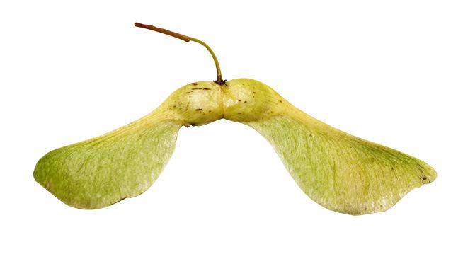 Ahorn Frucht Name : ahorn frucht name feld ahorn acer campestre zimt ahorn wikipedia schneeballbl ttriger ahorn ~ Frokenaadalensverden.com Haus und Dekorationen
